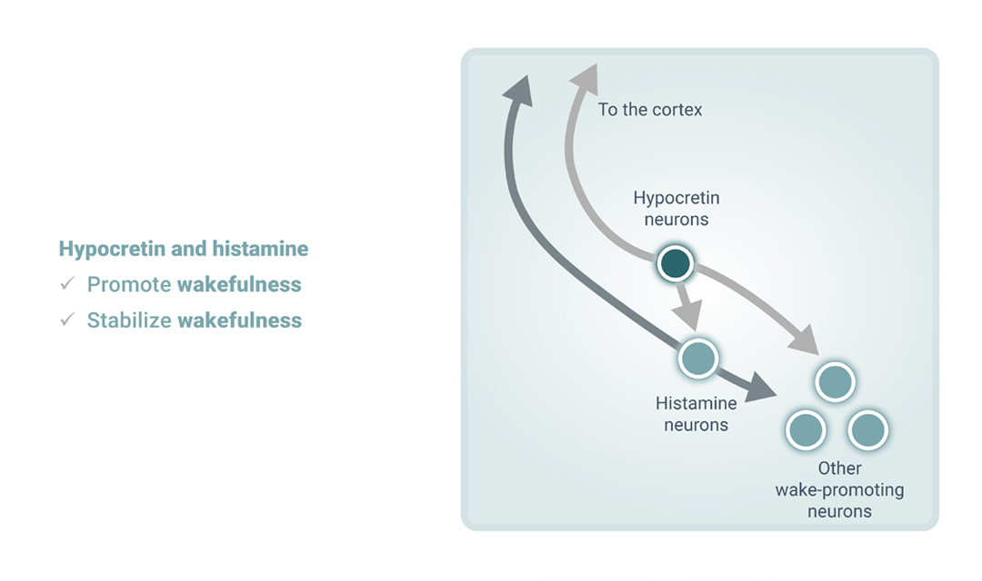 2 Importance of Histamine